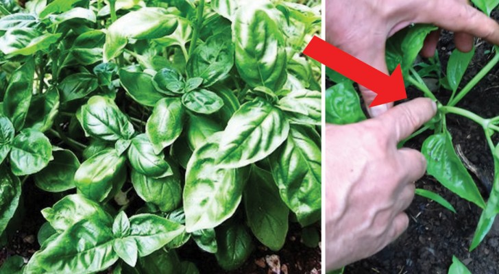 O truque do agricultor: como fazer crescer mudas manjericão no jardim
