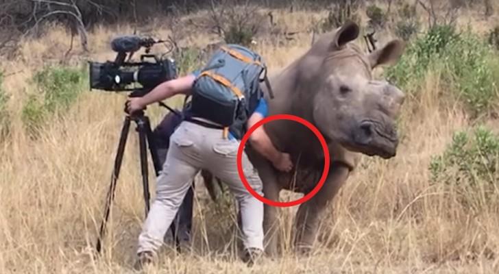 A lavoro nella savana: quando il rinoceronte si avvicina l'uomo non può fare altro che assecondarlo