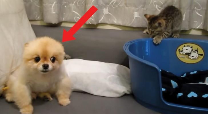 Il gattino vuole a tutti i costi giocare con lui ma il cane non è AFFATTO d'accordo