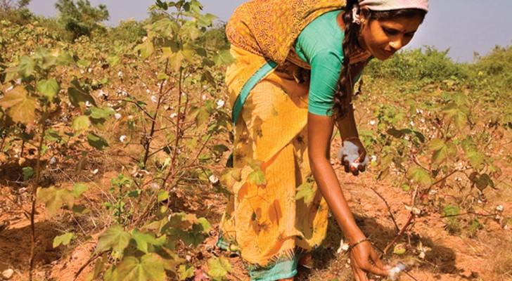 Indische Bauern zeigen Monsanto die kalte Schulter und bauen wieder einheimische Baumwolle an