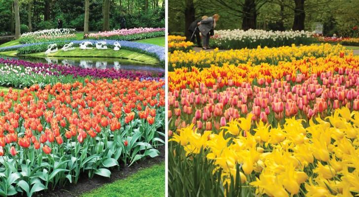 7 milioni di bulbi in fiore: scoprite cosa accade in questa città olandese quando arriva la primavera