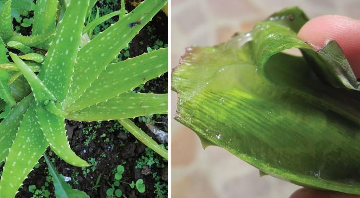 Die unglaubliche Vielseitigkeit der Aloe Vera: Entdeckt die vielen Einsatzmöglichkeiten dieser Sukkulente