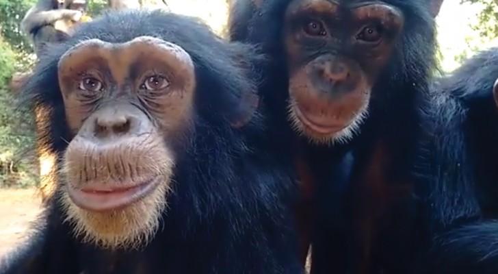 La chimpance que ha sorprendido tambien a lo cientificos: mirenlo a los ojos y entenderan el porque