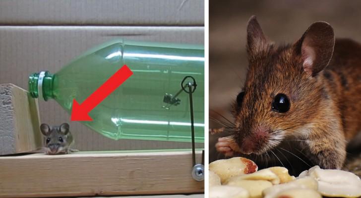 El metodo para liberarse de las ratas que infectan la casa...SIN matarlas!