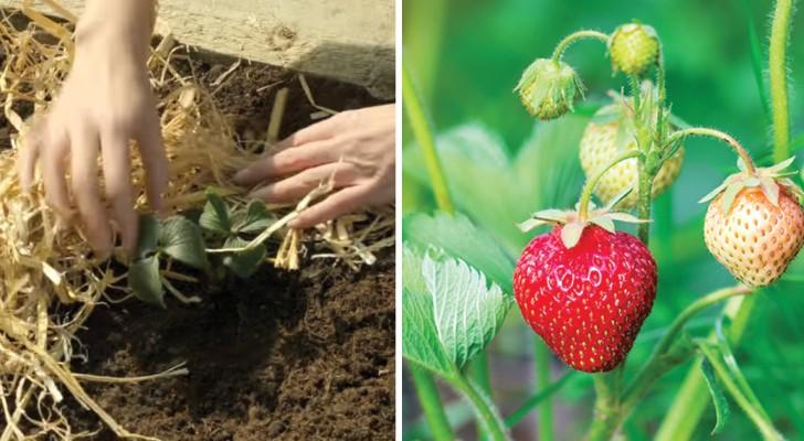 Lerne Erdbeeren anzupflanzen, Schritt für Schritt und einfacher als du denkst