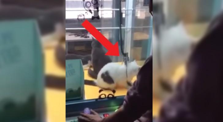 Dentro da máquina de pescar bichinhos de pelúcia estão três gatos de verdade... que crueldade!