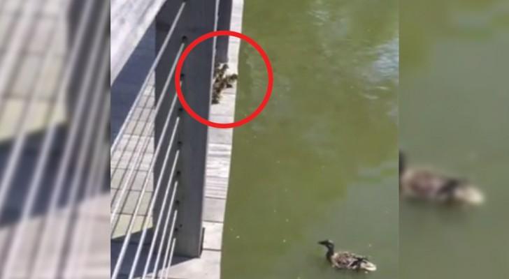 Mamma anatra si lancia in acqua: i suoi piccoli devono trovare il coraggio di seguirla