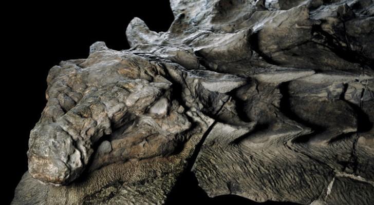 Bergmänner finden durch Zufall eines der beeindruckendsten Fossilien eines Dinosauriers