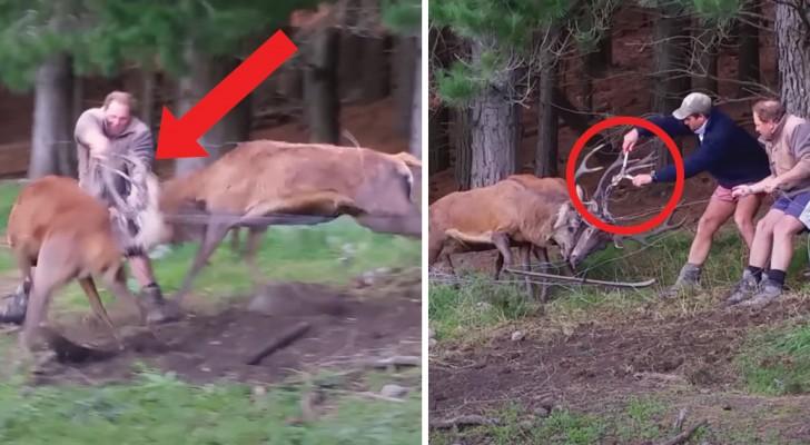 Deze 2 herten zijn verstrengeld geraakt: de tussenkomst van deze twee mannen is hun enige hoop!