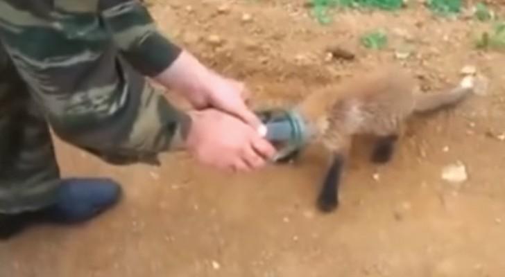 Le petit  renard a la tête encastrée et décide de demander de l'aide à un groupe d'hommes