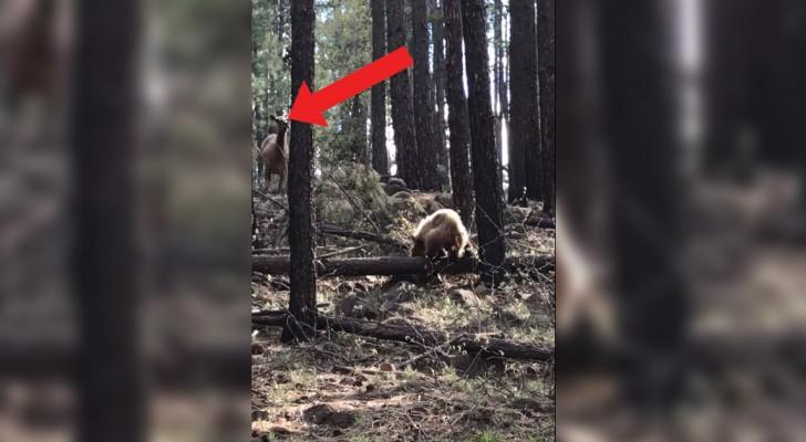 Der Bär will das Kalb fangen, aber achtet auf den Zug der Elchmutter