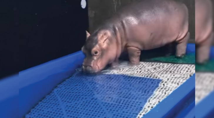 La dolcissima riabilitazione del cucciolo di ippopotamo nato prematuro: ve ne innamorerete!