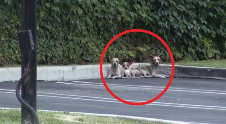 Diese 3 Chihuahuas trauten den Menschen nicht mehr, aber seht sie euch nach einigen Tagen an...