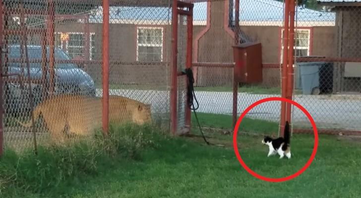 No refúgio para felinos o gato desafia o leão: a cena deixa o proprietário de boca aberta!