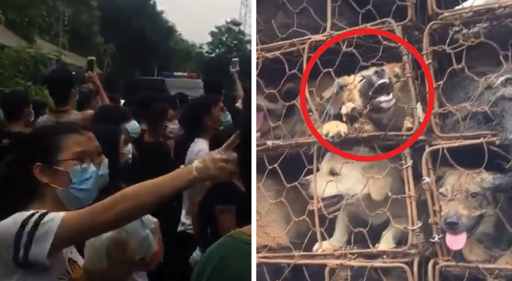 Dogs rescued at the annual Chinese Dog Meat Festival!