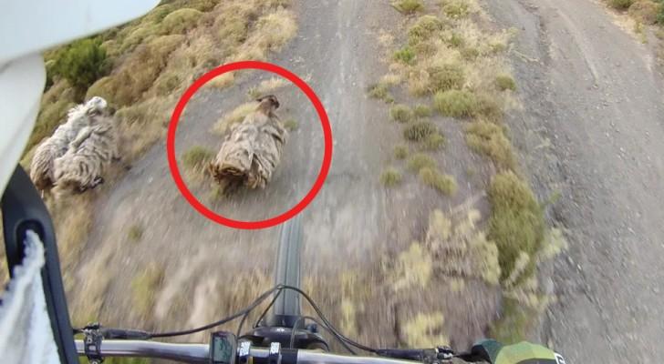 A weird event! --- a mountain biker almost lands on a sheep!