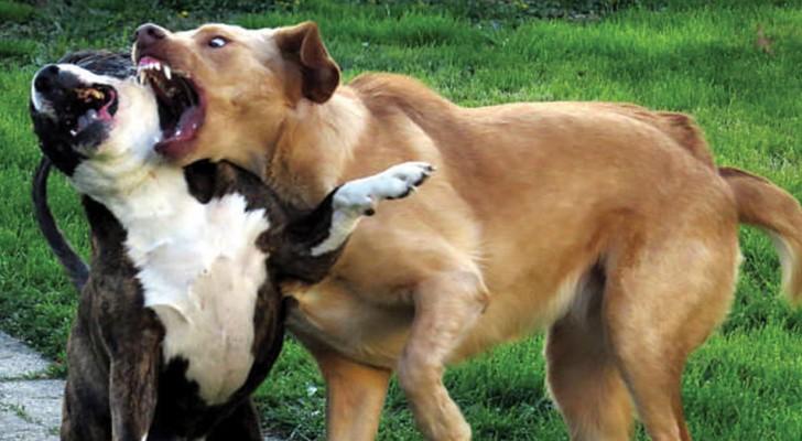 Een dierenarts laat 6 veilige manieren zien hoe je een ruzie tussen honden kunt afkappen