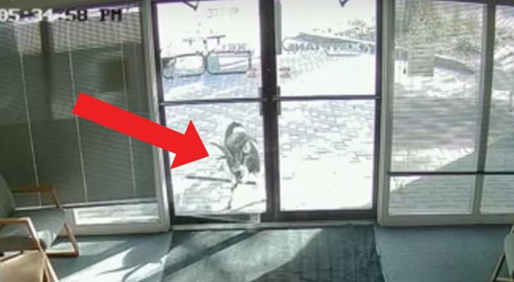 Una capra passa di fronte alla porta di vetro ma... ciò che fa non ha alcuna spiegazione!
