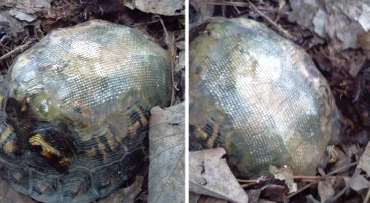 Salva una tortuga reparando la caparazon con la fibra de vidrio: años despues hay un encuentro bellisimo