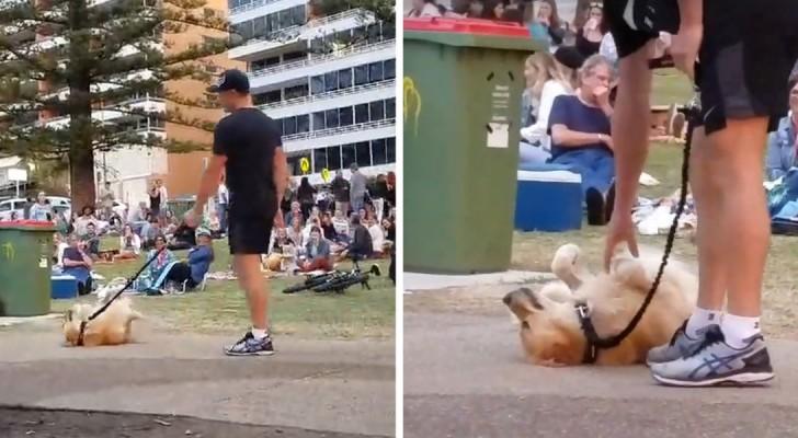 Le chien fait le mort pour ne pas partir du parc: la stratégie semble être parfaite