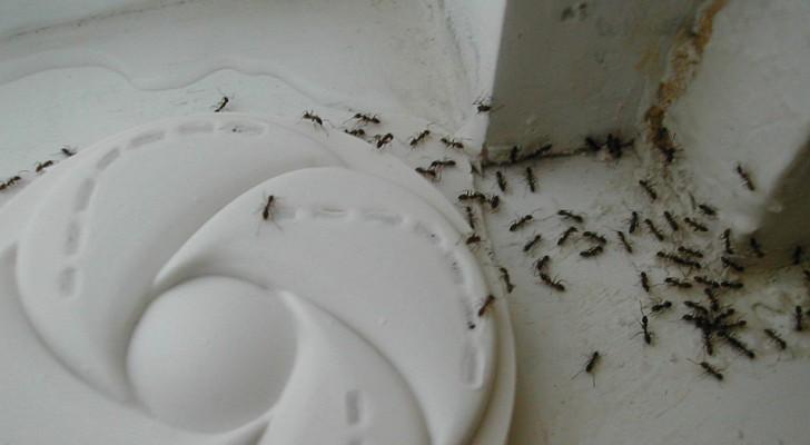 Liberate rapidamente de las hormigas en casa con este simple truco