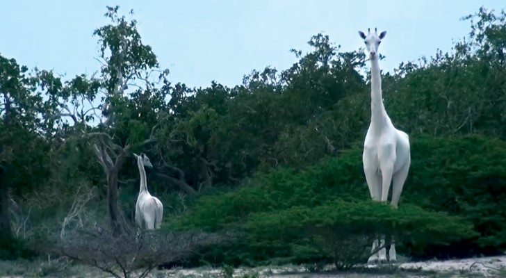 Filmate in Kenya due rarissime giraffe bianche... Un vero spettacolo della natura!