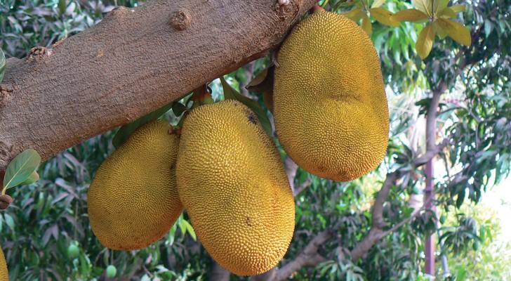 Questo frutto che sa di porchetta poterebbe salvare milioni di vite