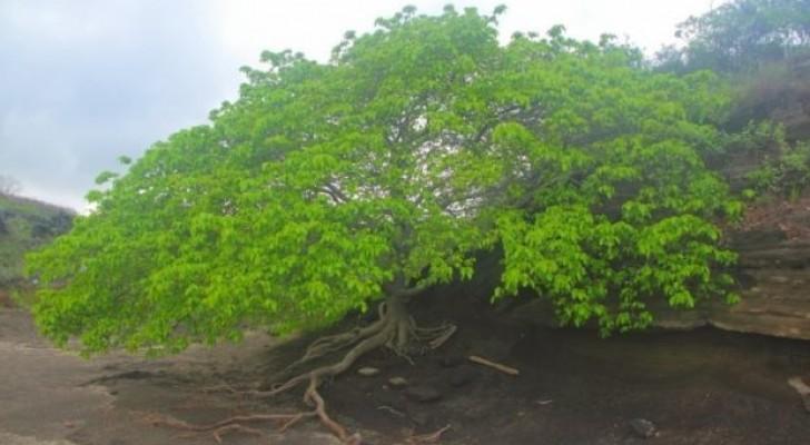 Alle geheimen van de boom des doods, de meest gevaarlijke boom ter wereld