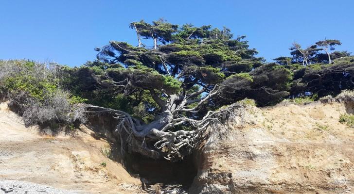 De Boom van Kalaloch: een enorme dennenboom die het leven niet opgeeft, ook al wordt het opgeslokt door een kloof