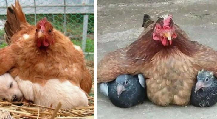 11 foto's van kippen die hun VREEMDE kuikens warm houden