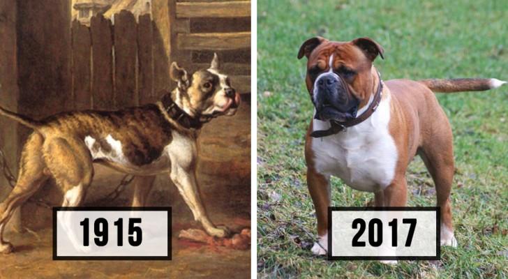So sehr haben sich einige Hunderassen innerhalb von 100 Jahren verändert