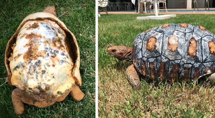 Questa tartaruga rimasta ferita in un incendio è stata la prima a ricevere un guscio nuovo stampato in 3D