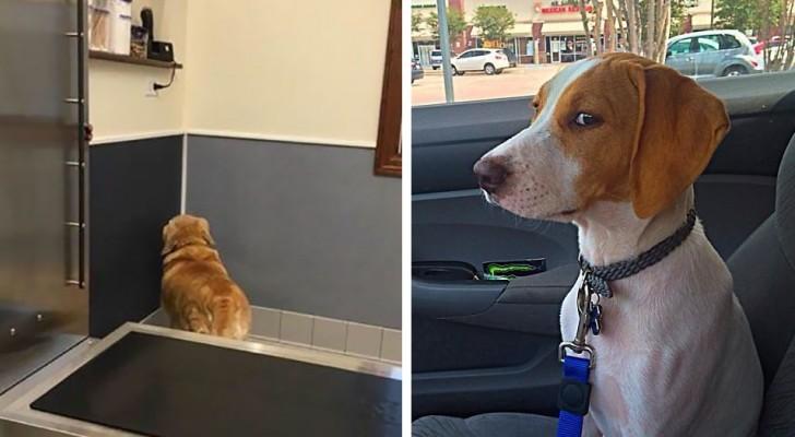 Il momento esatto in cui questi cani hanno realizzato che stanno andando dal veterinario... e non al parco