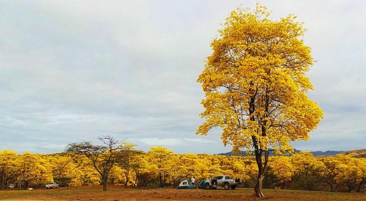 Questa foresta si tinge di giallo una volta all'anno: lo spettacolo che si viene a creare è mozzafiato