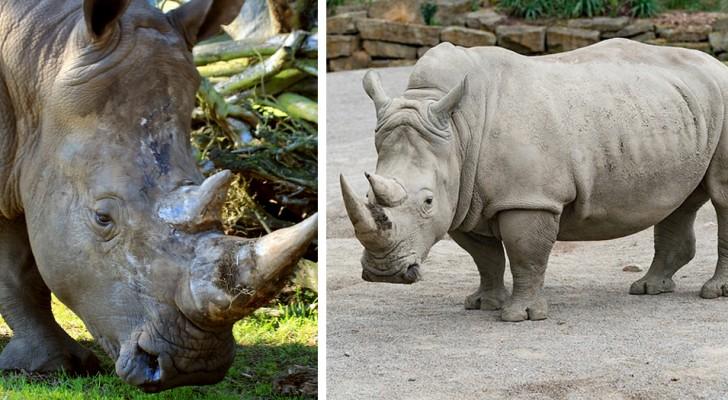Muore l'ultimo maschio di rinoceronte bianco settentrionale: il futuro della specie si fa buio