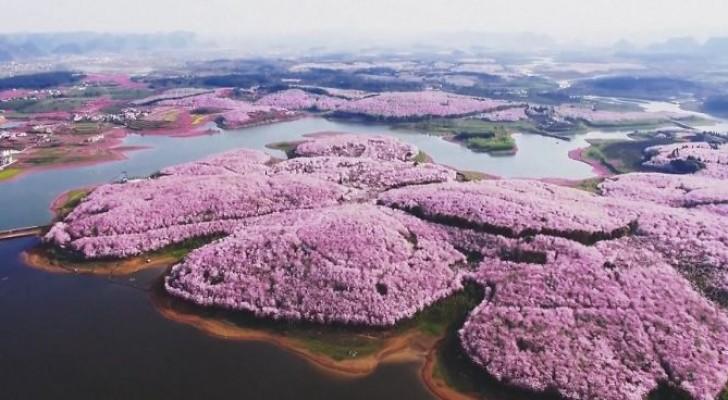 I fiori di ciliegio si sono appena schiusi in Cina... e offrono uno spettacolo che non puoi perderti