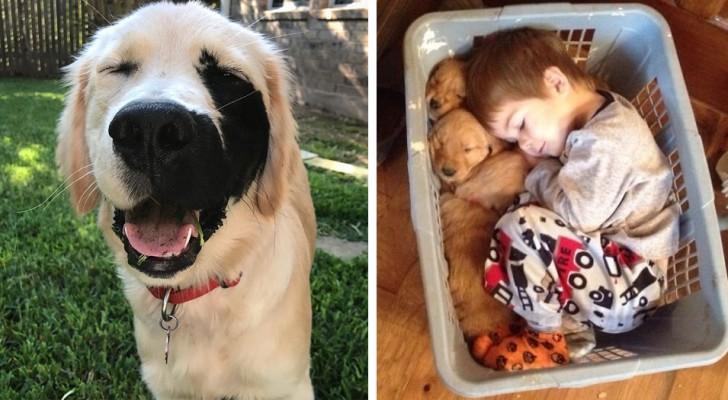 26 cas où les Golden Retrievers se sont avérés être les meilleurs chiens de tous les temps.