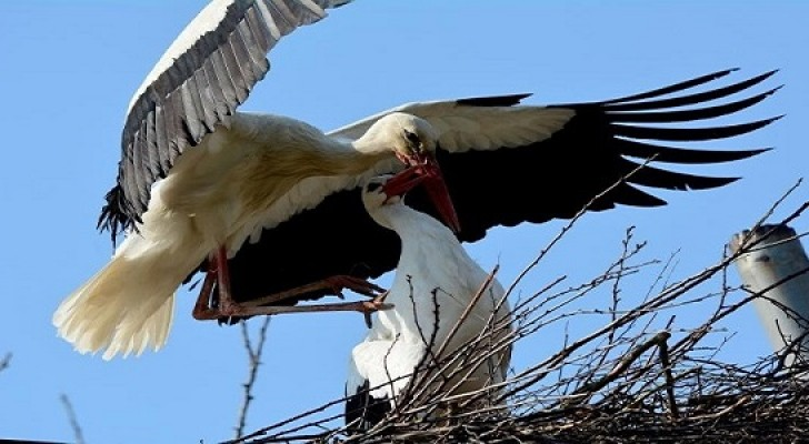 Dal 1993, ogni anno questa cicogna vola per 14.000 km per ritrovare la sua compagna di vita disabile