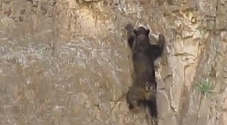 Des ours cascadeurs, oui, cela existe!