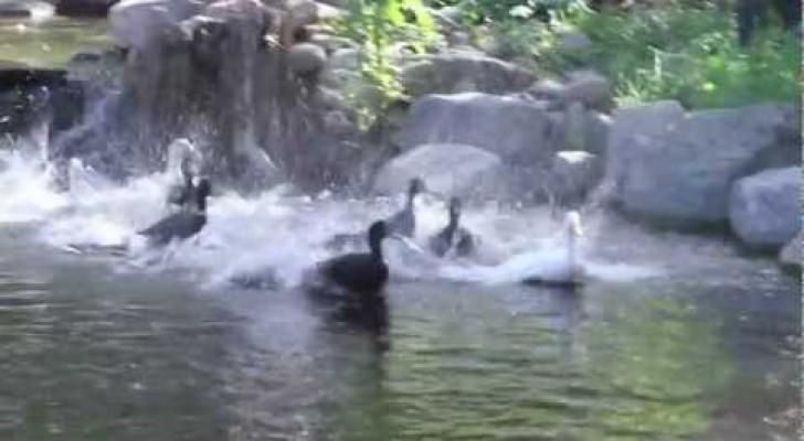 Anatre fanno il bagno per la prima volta