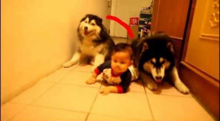 De superbes husky imitent bébé