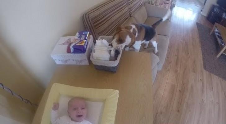 Beagle hilft beim Windelnwechseln
