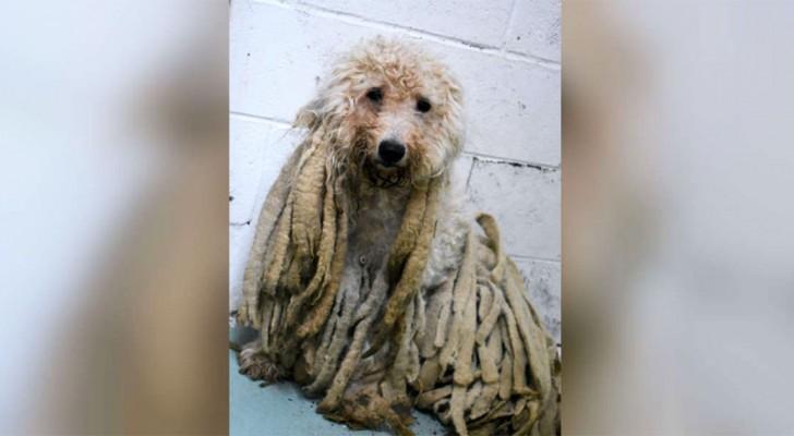 Un perro viene llevado al refugio cubierto de pesadas
