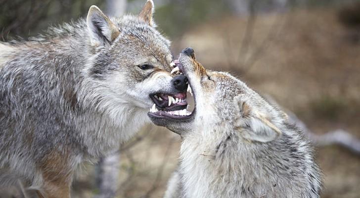 I lupi sanno fare pace dopo una lite, i cani non più a causa di millenni di vicinanza all'uomo