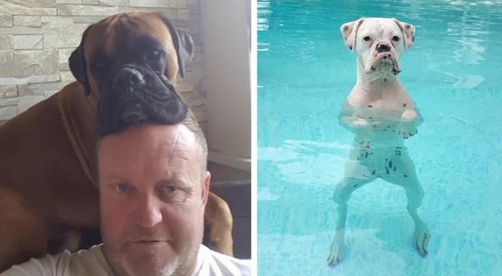 25 foto per provare che i boxer sono i cani più simpatici e bizzarri in assoluto