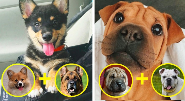 14 crossbred dogs that are the cutest puppy dogs you will see today!