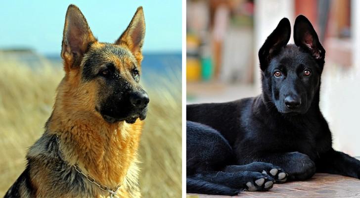 Deze 14 prachtige foto's laten ons zien dat de Duitse herder één van de mooiste honden ter wereld is