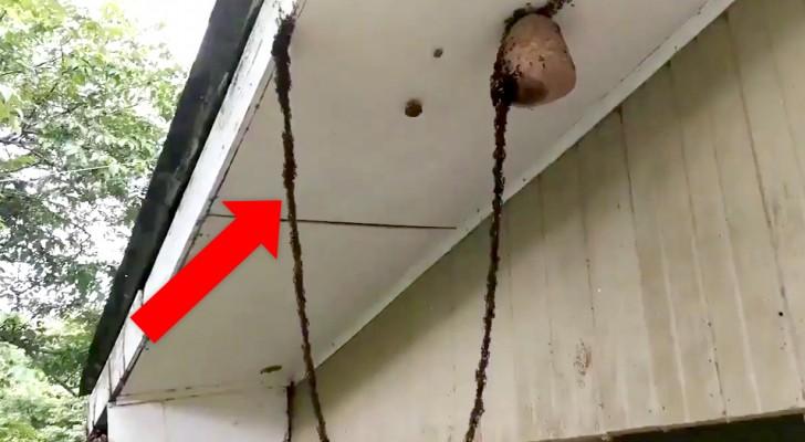 Le formiche costruiscono un ponte vivente per attaccare un nido di vespe: una vera dimostrazione di ingegno