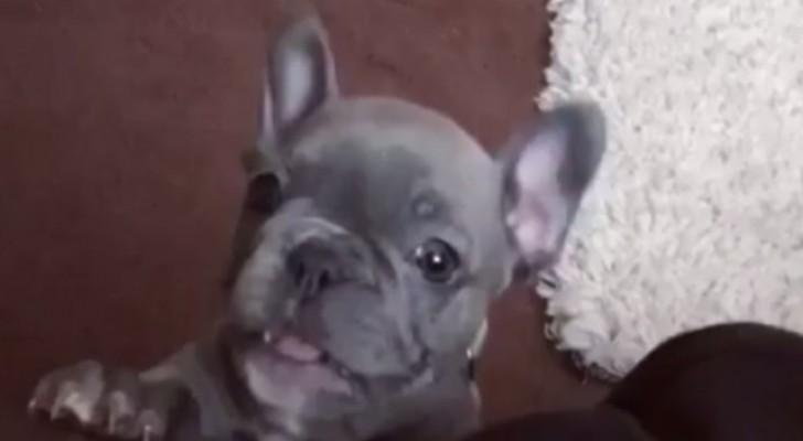 Questo cucciolo di bulldog è adorabile, ma appena proverà ad abbaiare... Wow!!!