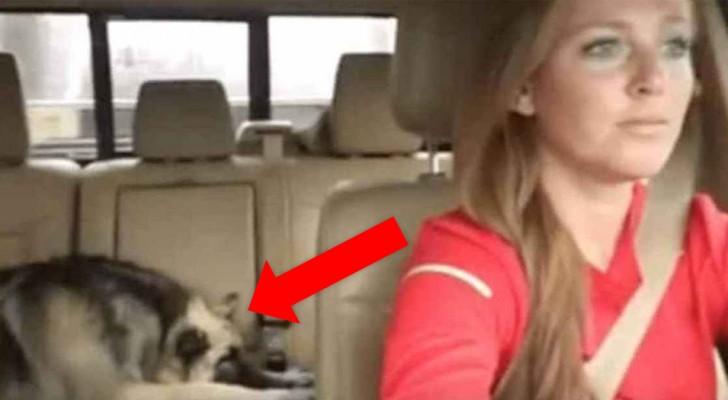 Der Hund schläft auf der Rückbank: Als sein Lieblingslied beginnt, wacht er auf und beginnt zu singen